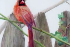 Prentice_Jan_Northern-Cardinal-II_Colored-Pencil_10X10_675