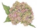 Barry Betsy Pink Hydrangea