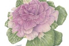barrybetsyornamentalkalecoloredpencil