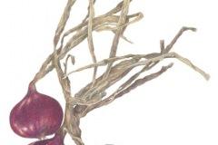 barrybetsypurple-onionscoloredpencil