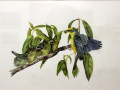 Boone Jim Blue Winged Warbler