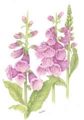 """Betsy Barry, """"Foxglove"""", colored pencil, 11x14, $750"""