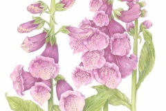"Betsy Barry, ""Foxglove"", colored pencil, 11x14, $750"