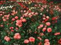 Wesley Vietzke, <i>Wisley Roses # 4, </i>oil, $5