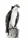 """Amanda Surveski, """"The Osprey's Lunch"""", graphite, 24x18, $900"""